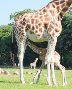 Visitors to Fota Wildlife Park got more than just the sun today as the park unveiled not one but two baby giraffes, the second one coming as a surprise to everyone as mother Sapphire gave birth in front of a huge crowd just before 4pm.
